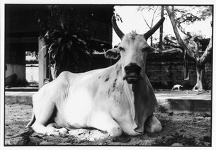 寝そべる牛 B/W バンコク タイの写真素材 [FYI03867675]