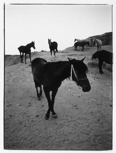 牧場の馬の群れ B/W トルコの写真素材 [FYI03867694]