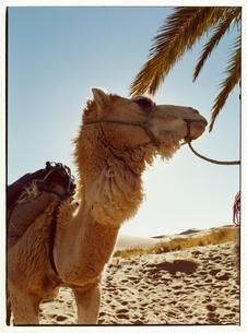 サハラ砂漠のラクダ モロッコの写真素材 [FYI03867717]