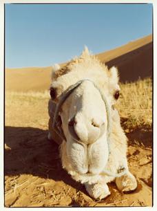ラクダ       サハラ モロッコの写真素材 [FYI03867746]