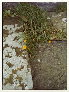 道端に咲く雑草とタンポポの写真素材 [FYI03867765]