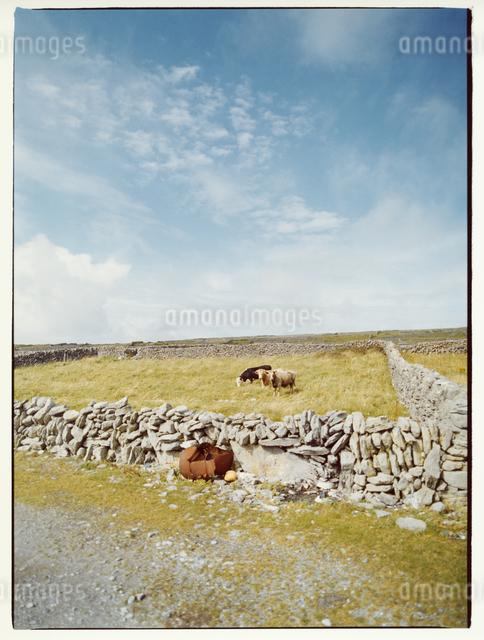 牧場のウシ    イニシューマン島 アラン諸島 アイルランドの写真素材 [FYI03867769]