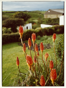 赤い花     イニシューマン島 アラン諸島 アイルランドの写真素材 [FYI03867771]