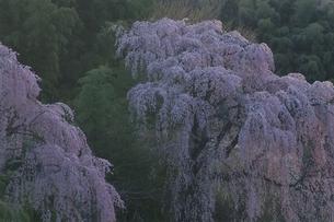 福聚寺で咲くシダレザクラ 三春町 福島県の写真素材 [FYI03867871]