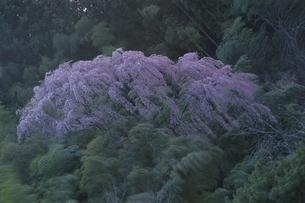 福聚寺で咲くシダレザクラ 三春町 福島県の写真素材 [FYI03867872]