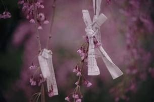シダレザクラの枝に結ばれたおみくじの写真素材 [FYI03867886]