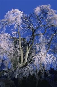 慈光寺で咲くシダレザクラの夜景 宇都宮市 栃木県の写真素材 [FYI03867903]