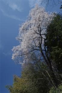 ソメイヨシノの咲く風景 高遠町 長野県の写真素材 [FYI03867911]