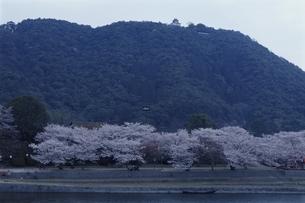 錦帯橋で咲くソメイヨシノ 岩国市 山口県の写真素材 [FYI03867939]