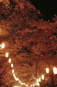 忠元公園で咲くソメイヨシノの夜景 大口市 鹿児島県の写真素材 [FYI03867953]