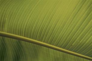 芭蕉の葉の写真素材 [FYI03868127]