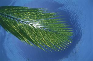 海に浮かぶヤエヤマヤシと波紋の写真素材 [FYI03868393]