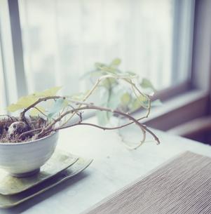 室内に飾られたサツマイモの葉の写真素材 [FYI03868525]