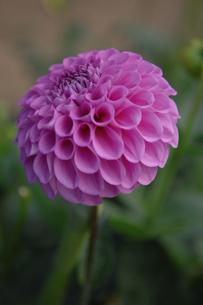 ピンクのボンボン型のダリアの写真素材 [FYI03869066]