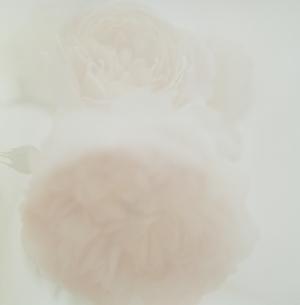 淡いピンクの薔薇の写真素材 [FYI03869264]