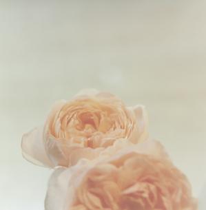 ピンクの薔薇の写真素材 [FYI03869265]