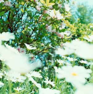 野に咲く白い花の写真素材 [FYI03869279]