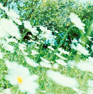 野に咲く白い花の写真素材 [FYI03869281]