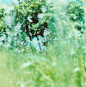 野に咲く白い花の写真素材 [FYI03869282]