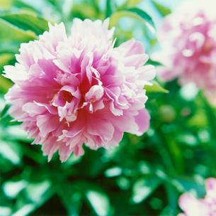 ピンクの花の写真素材 [FYI03869287]