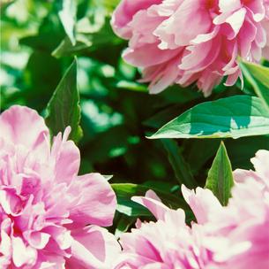 ピンクの花の写真素材 [FYI03869288]