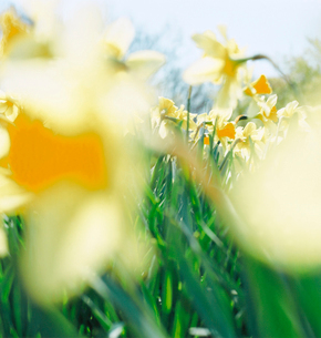 黄色い水仙の花畑の写真素材 [FYI03869324]