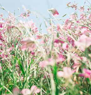 風に揺れるピンクの花の写真素材 [FYI03869331]