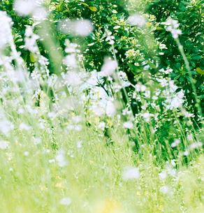 風に揺れる緑と小さな花の写真素材 [FYI03869332]