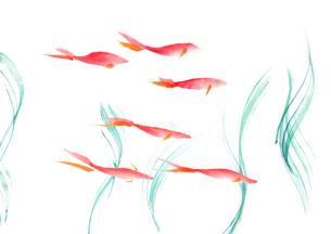 金魚のイラスト素材 [FYI03871620]