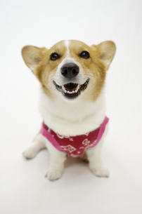 バンダナを付けたコーギー犬の写真素材 [FYI03871640]