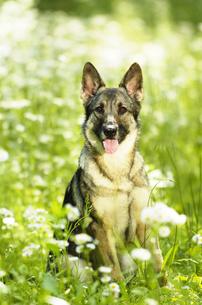 緑の中のシェパード犬の写真素材 [FYI03871666]