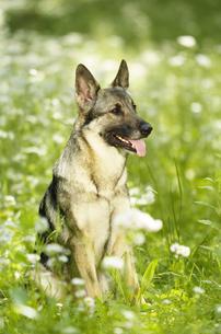 緑の中のシェパード犬の写真素材 [FYI03871667]