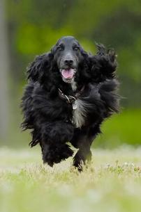 緑の中を走るイングリッシュコッカースパニエル犬の写真素材 [FYI03871721]