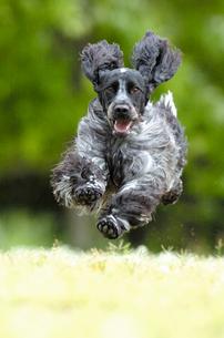 緑の中を走るイングリッシュコッカースパニエル犬の写真素材 [FYI03871722]