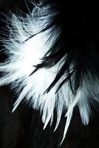 白黒の羽と毛皮の写真素材 [FYI03871824]