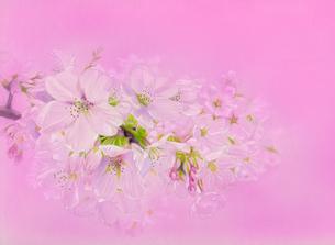ピンク地の桜の花のイラスト素材 [FYI03871893]
