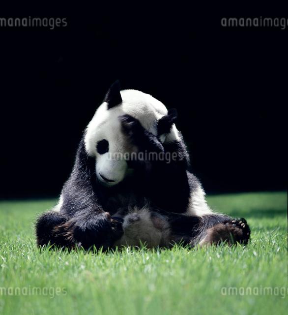 パンダの写真素材 [FYI03871909]