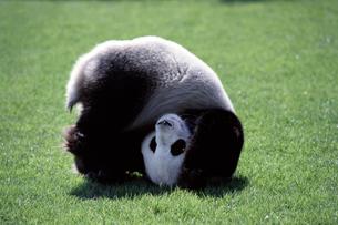 パンダの写真素材 [FYI03871914]