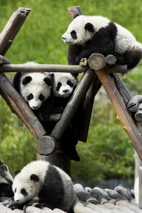 パンダの写真素材 [FYI03871995]