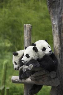 パンダの写真素材 [FYI03871996]