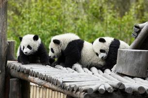 パンダの写真素材 [FYI03871997]
