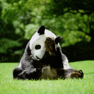 パンダの写真素材 [FYI03872002]