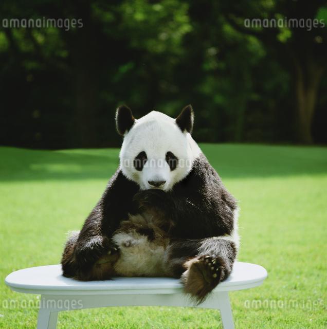 パンダの写真素材 [FYI03872003]