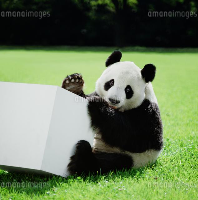 パンダの写真素材 [FYI03872004]