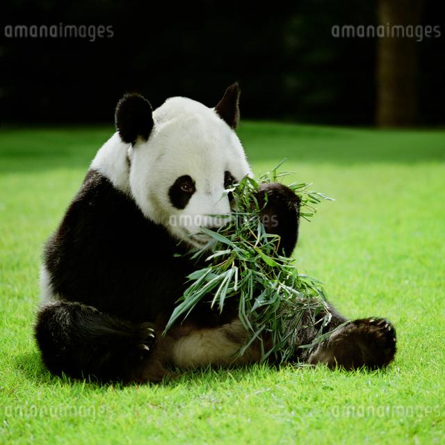 パンダの写真素材 [FYI03872005]