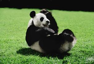 パンダの写真素材 [FYI03872009]