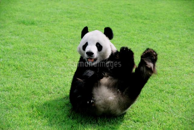 パンダの写真素材 [FYI03872013]