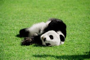 パンダの写真素材 [FYI03872014]
