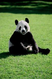 パンダの写真素材 [FYI03872019]