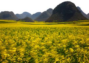 羅平 菜の花畑の写真素材 [FYI03872039]